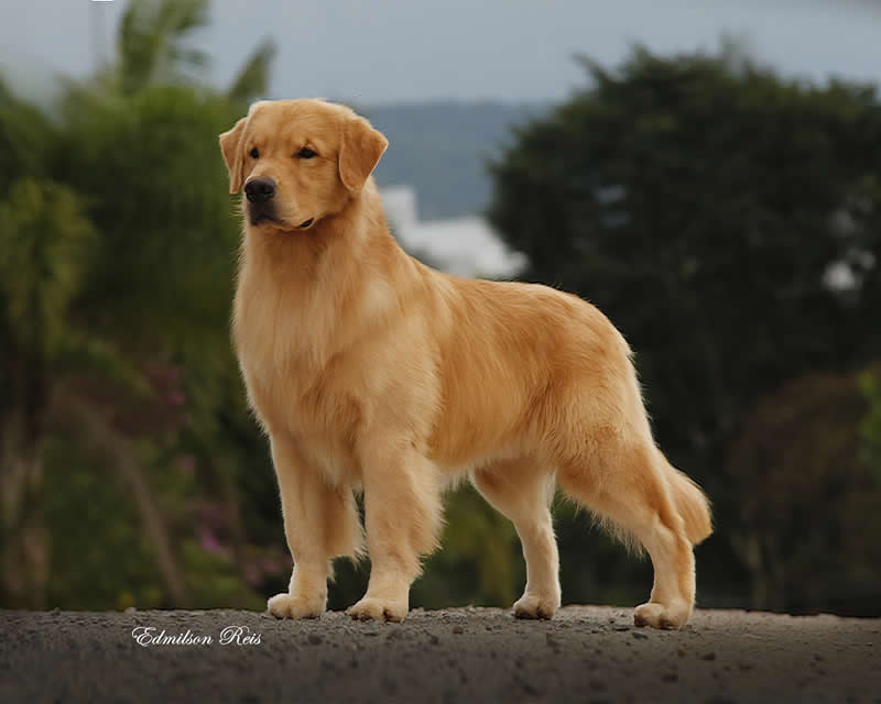 golden retrievals mark doty essay